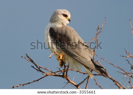 Black-shouldered kite  (Elanus caeruleus) perched on a branch, South Africa
