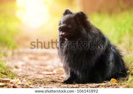 Black shpitz in summer park - stock photo