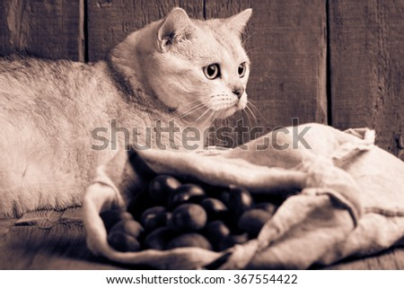 black silver shaded British shorthair cat lying behind a sack of chestnuts. Wooden background. BW - stock photo