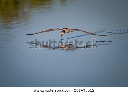 Black skimmer searches for food - stock photo