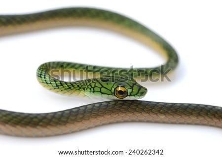 Black-skinned parrot snake (Leptophis ahaetulla nigromarginatus) - stock photo