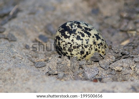 Black-Smith Plover Egg - Nature Background of Patterns and Markings - Natural Camouflage