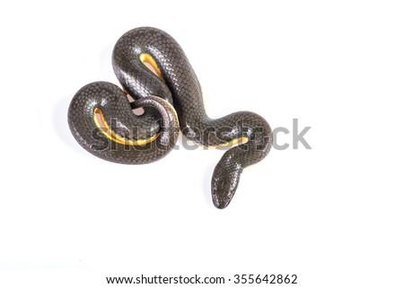 Black Snake - stock photo