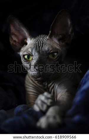 Black Sphynx hairless cat