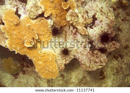 black spiny sea urchins on coral in caribbean sea near roatan - stock photo