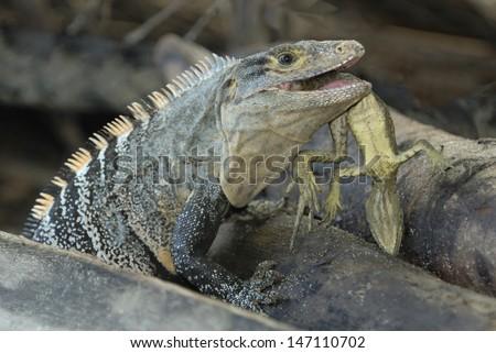 Black Spiny-tailed Iguana (Ctenosaura similis) eating a young Basilisk Lizard - stock photo