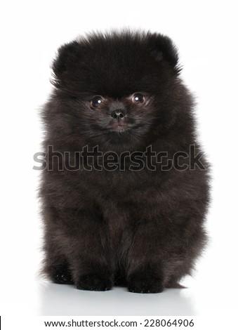 Black Spitz puppy posing on a white background - stock photo