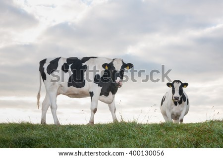 Black spotted heifers stand together gazing on top of a dike on a cloudy day in autumn. - stock photo