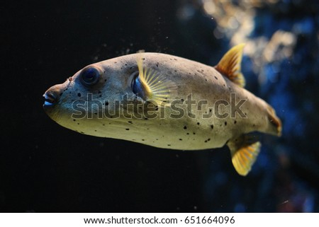 Brown puffer stock images royalty free images vectors for Weird freshwater fish