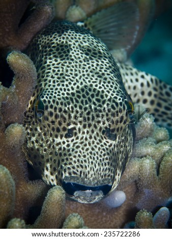 Black spotted puffer fish by night  - stock photo