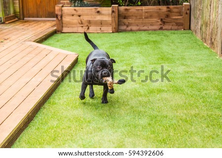 Terrific Pedigree Stock Images Royaltyfree Images  Vectors  Shutterstock With Entrancing Black Staffordshire Bull Terrier Dog Running And Playing On Artificial  Grass By Decking In A Residential With Delectable Trentham Gardens Monkey Forest Also Andrew Marvell The Garden In Addition Garden Ideas For Small Garden And Ikea Uk Garden As Well As The Garden Trading Company Additionally Minestrone Soup Olive Garden From Shutterstockcom With   Entrancing Pedigree Stock Images Royaltyfree Images  Vectors  Shutterstock With Delectable Black Staffordshire Bull Terrier Dog Running And Playing On Artificial  Grass By Decking In A Residential And Terrific Trentham Gardens Monkey Forest Also Andrew Marvell The Garden In Addition Garden Ideas For Small Garden From Shutterstockcom