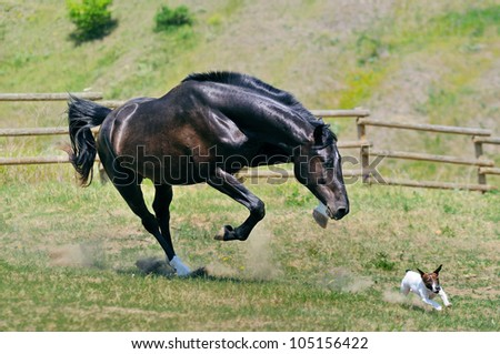 Black stallion running after jack russel terrier - stock photo