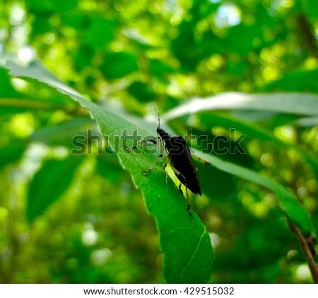 Black Stinkbug on a leaf - stock photo
