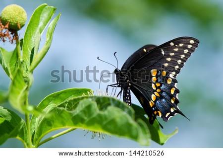 Black Swallowtail butterfly (Papilio polyxenes) feeding on buttonbush. Natural green and blue background.
