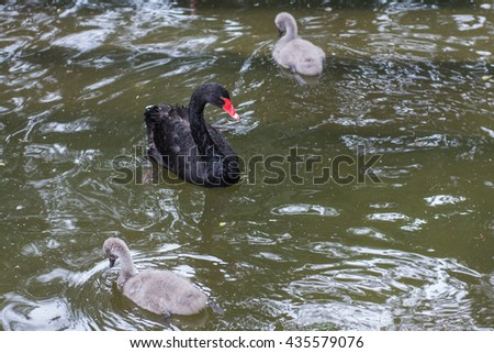 Black swan with a baby swan.  - stock photo