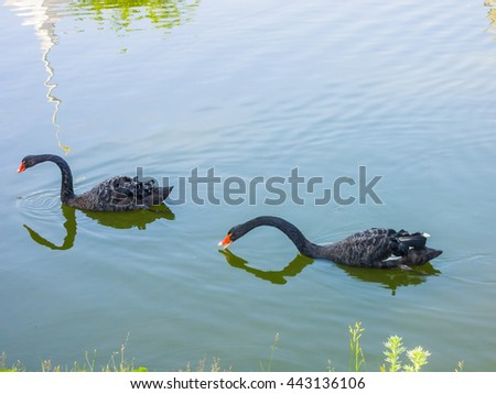 Black Swans   - stock photo