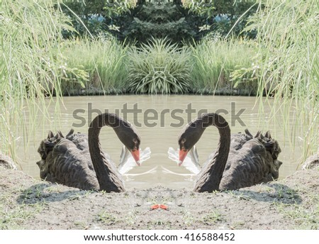 Black swans in a lake. Edited in computer program to represent couple of love. - stock photo