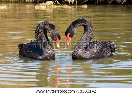 Black swans in love - stock photo