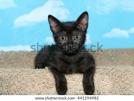 black tabby kitten laying forward with paws hanging over front of carpet tower looking forward, blue background with white clouds.  - stock photo