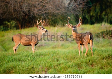 Black-tailed deer bucks - stock photo