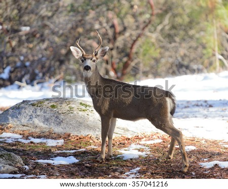 Black-tailed deer in the winter - stock photo