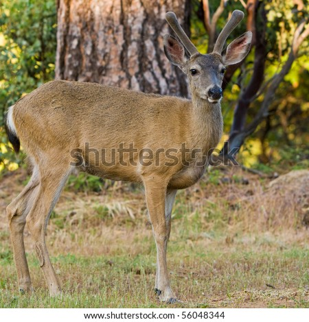 Black Tailed Deer Stag Posing on a Lawn in California.