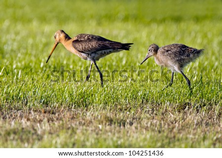 Black Tailed Godwit and a chicken - stock photo