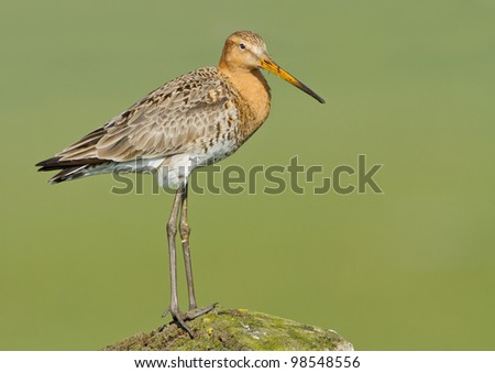 Black Tailed Godwit at a green background - stock photo