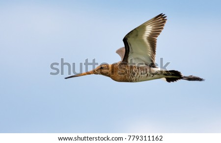 Black-tailed godwit flies near with open wings and side view