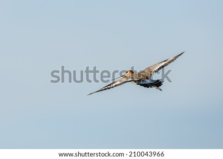 Black tailed godwit in flight