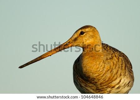 Black Tailed Godwit in golden moring light - stock photo