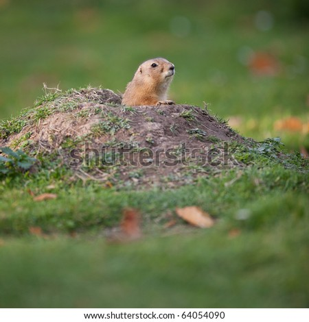 black tailed prairie dog (color toned image) - stock photo