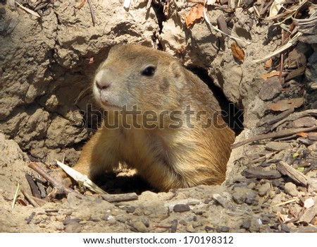 Black Tailed Prairie Dog Coming Out of its Burrow - stock photo