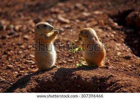 Black-tailed prairie dog (Cynomys ludovicianus) babies outside a burrow entrance. - stock photo
