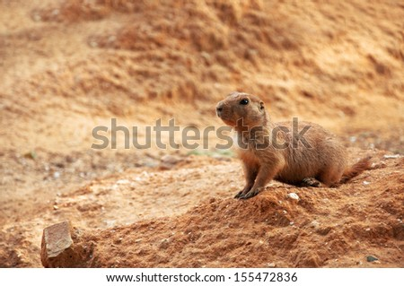 Black-tailed prairie dog, Cynomys ludovicianus, in natural surroundings - stock photo