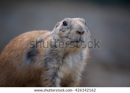 Black-tailed prairie dog (Cynomys ludovicianus) portrait of a cute pet