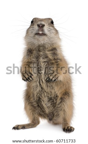 Black-tailed prairie dog, Cynomys ludovicianus, standing on hind legs in front of white background - stock photo