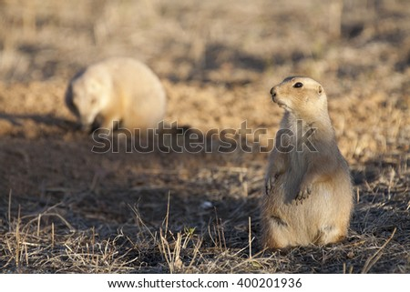 Black tailed prairie dog (Cynomys ludovicianus) standing on hind legs  keeps watch in at sunset while a second prairie dog forages in the background.