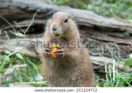 black tailed prairie dog eating a carrot - stock photo
