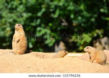 Black-tailed prairie dog family - stock photo
