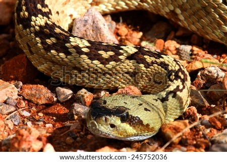 Black-tailed Rattlesnake (Crotalus molossus) coiled to strike in the desert - stock photo