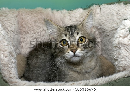 Black tan and cream colored tabby kitten looking surprised laying in a sheep skin bed big yellow green brown eyes wide open - stock photo