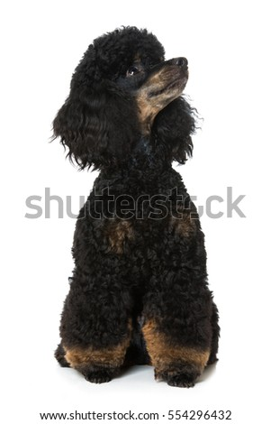 Black tan poodle isolated on white