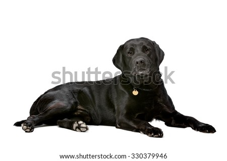 black ten years old Labrador in front of a white background - stock photo