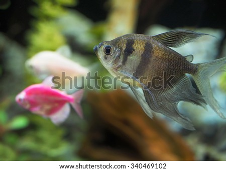 Black Tetras, Original Long Finned Variety and White and Pink Glowfish Tetra - stock photo