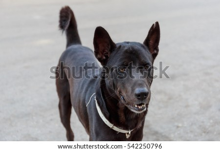 black thai dog portrait