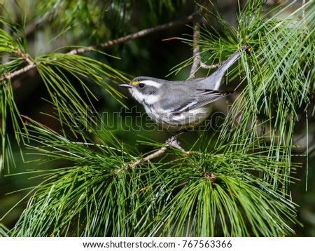 Black-throated Gray Warbler Perched in Pine Tree