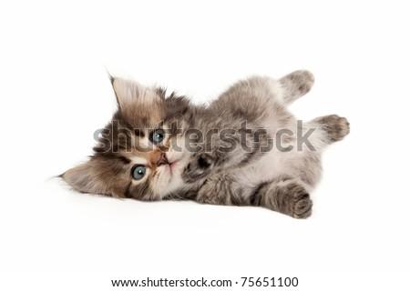 Black tiger siberian kitten on white background - stock photo