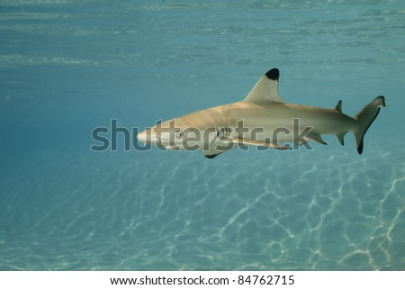 Black-tip reef shark in deep blue of Pacific Ocean