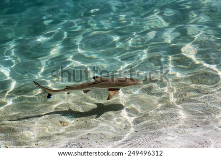 Black tip reef shark in shallow water, Maldives - stock photo